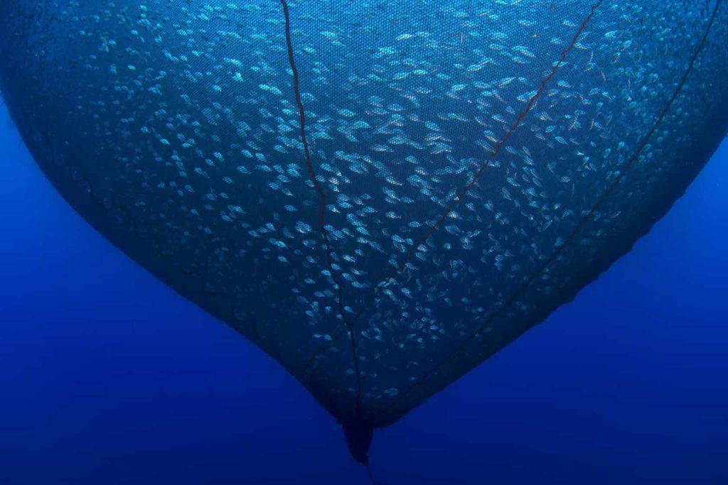 Giant underwater net catching hundreds of fish.